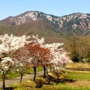 明川桜の里