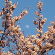 1503-sakura